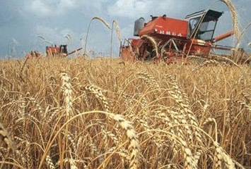 Выращивание зерновых культур в Акмолинской области
