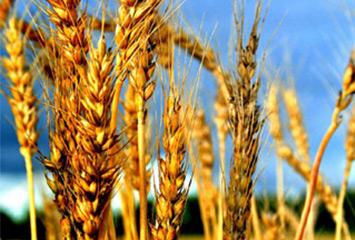 Выращивание пшеницы в Костанайской области
