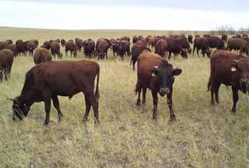 Создание агропромышленного комплекса, включающего откормочную площадку КРС, строительство мясокомбината и орошаемые земели на территории ЮКО РК